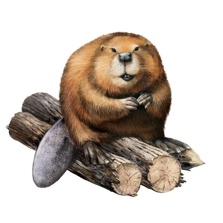 Wild-Beaver