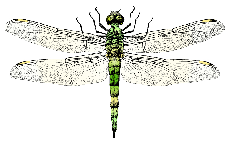Painting Dragonfly Vector