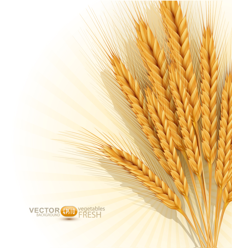 Golden Wheat Background Vector