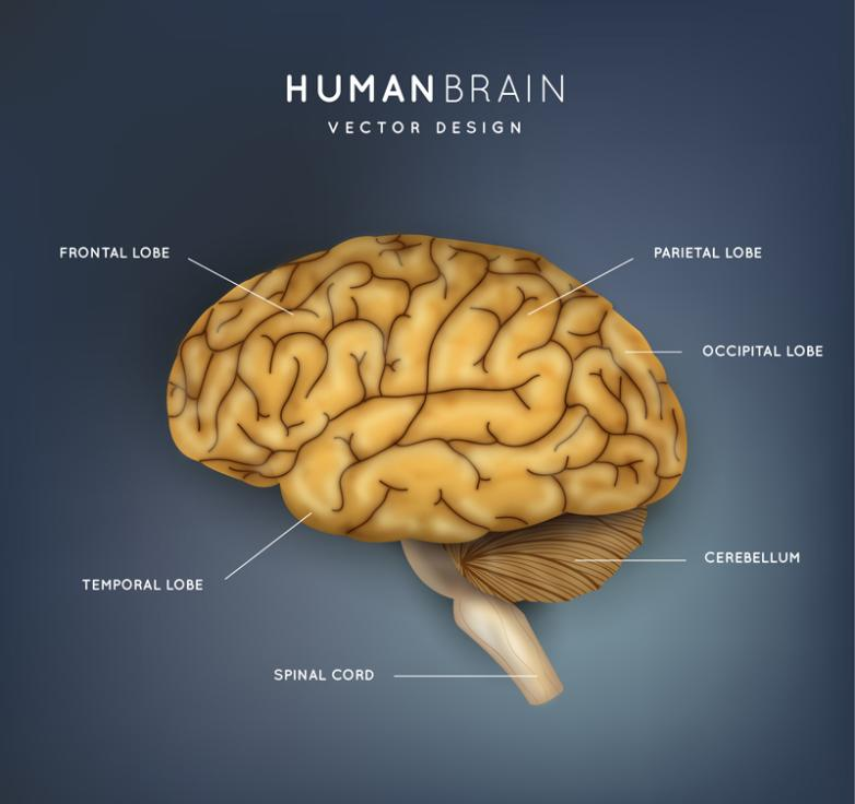The Creative Brain Structure Vector Free Vector Graphic Download