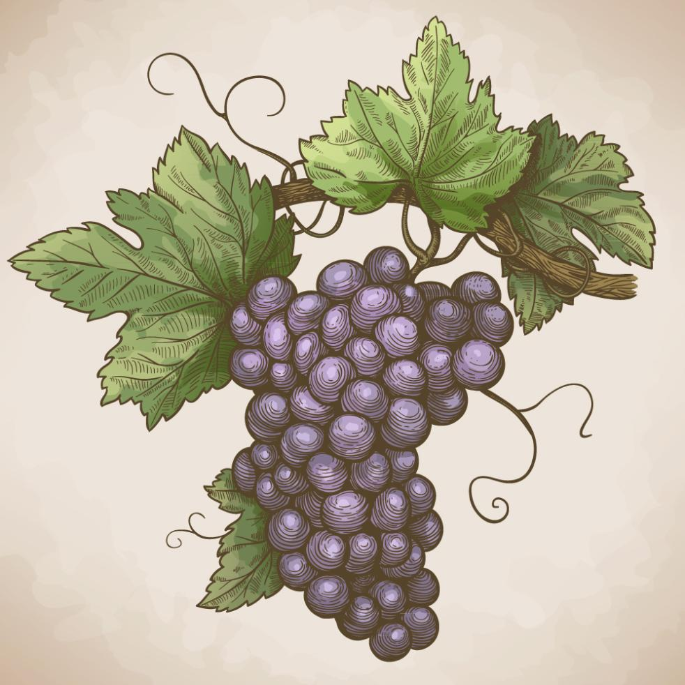 Purple Grapes Coloured Drawing Or Pattern Vector